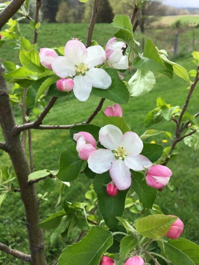 apple blossom.jpg