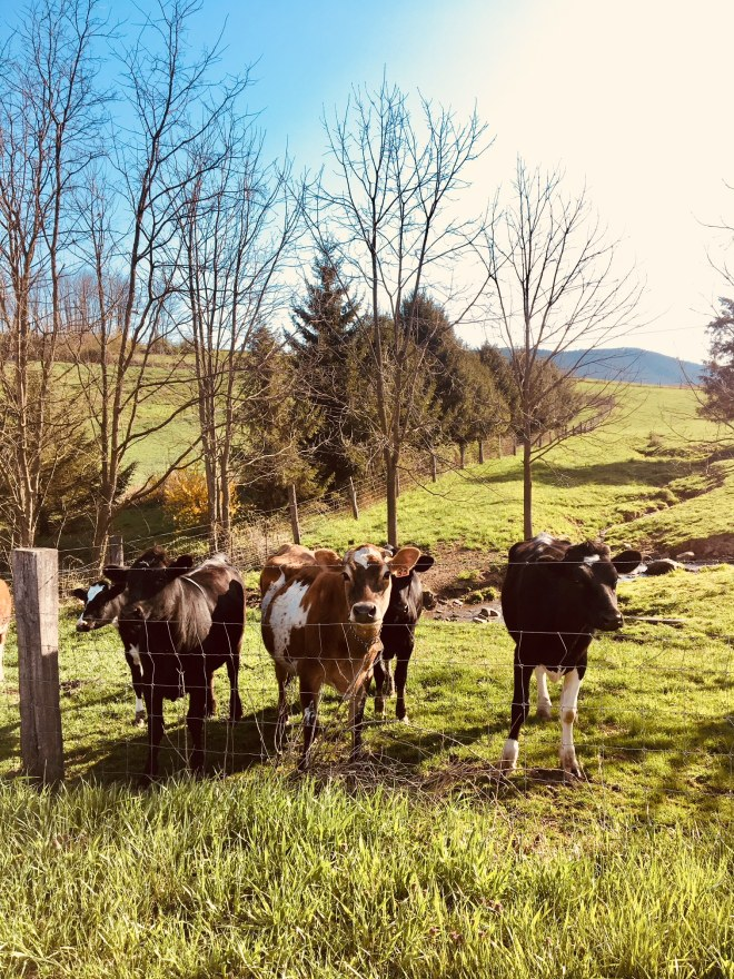 cow neighbors